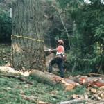 Falling the tree